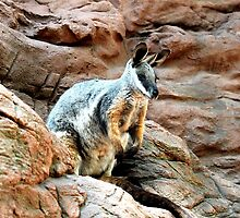 Yellow-footed Rock Wallaby by EnviroKey