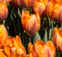 Tulips, Tulips, Tulips! Sticker