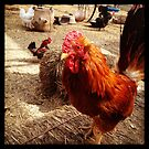 Little Red Rooster by Chris Patrick Carolan