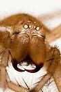 Shed Spider Skin Malaysian Orange Huntsman by Kawka