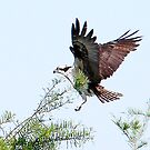 Osprey Dropping In by WTBird