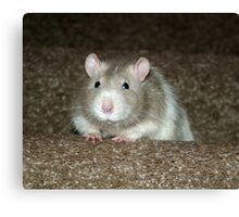 No, I'm not a hamster but a fancy rat! Canvas Print