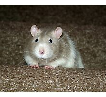 No, I'm not a hamster but a fancy rat! Photographic Print