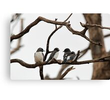 White-breasted Woodswallow Canvas Print