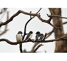 White-breasted Woodswallow Photographic Print