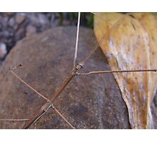 Titan Stick Insect Photographic Print