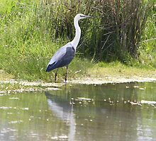 White-necked Heron by EnviroKey