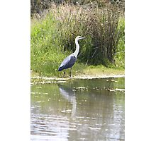 White-necked Heron Photographic Print