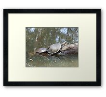Macquarie Turtle Framed Print