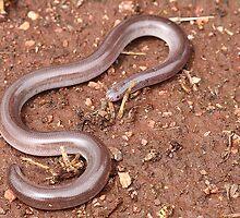 Dark-spined Blind Snake by EnviroKey