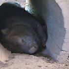 A Sleeping Woolly Wombat. by Maureen Dodd