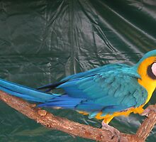 Exotic Bird the Macaw. by Maureen Dodd