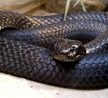 Tiger Snake - 'Chappell Island Form' by EnviroKey