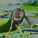Green Heron by photosbyjoe