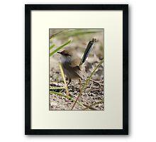 Superb Blue Fairy-wren Framed Print