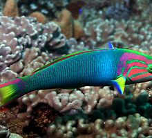 Rainbow Wrasse by John Marriott