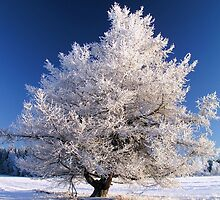 Frozen tree by ibphotos