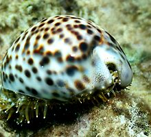 Cowrie Shell by John Marriott