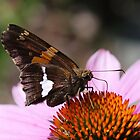Silver spotted skipper on coneflower by Alice Kahn