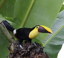Chestnut-Mandibled Toucan by hummingbirds