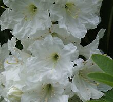 White Blossoms by Loisb