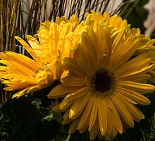 Three Sunshine Yellow Gerbera Daisies by Georgia Mizuleva