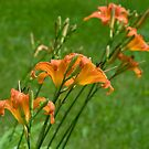 day lilies by AKimball