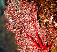 Red Fan Coral by John Marriott
