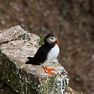 Puffin by chrismcloughlin