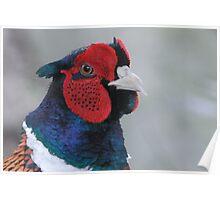 Pheasant ((Phasianus colchicus) Portrait  Poster