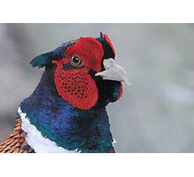 Pheasant ((Phasianus colchicus) Portrait  Photographic Print