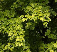 Summer Tree by Lyle Hatch