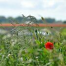 Poppy in the wind by Heather Thorsen