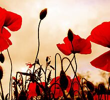 Red Poppies at Dusk by simpsonvisuals