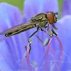Hoverfly Profile by relayer51
