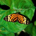 black, yellow, gold, orange butterly 643 by michaelBstone