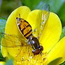Hoverfly by Phil Campus