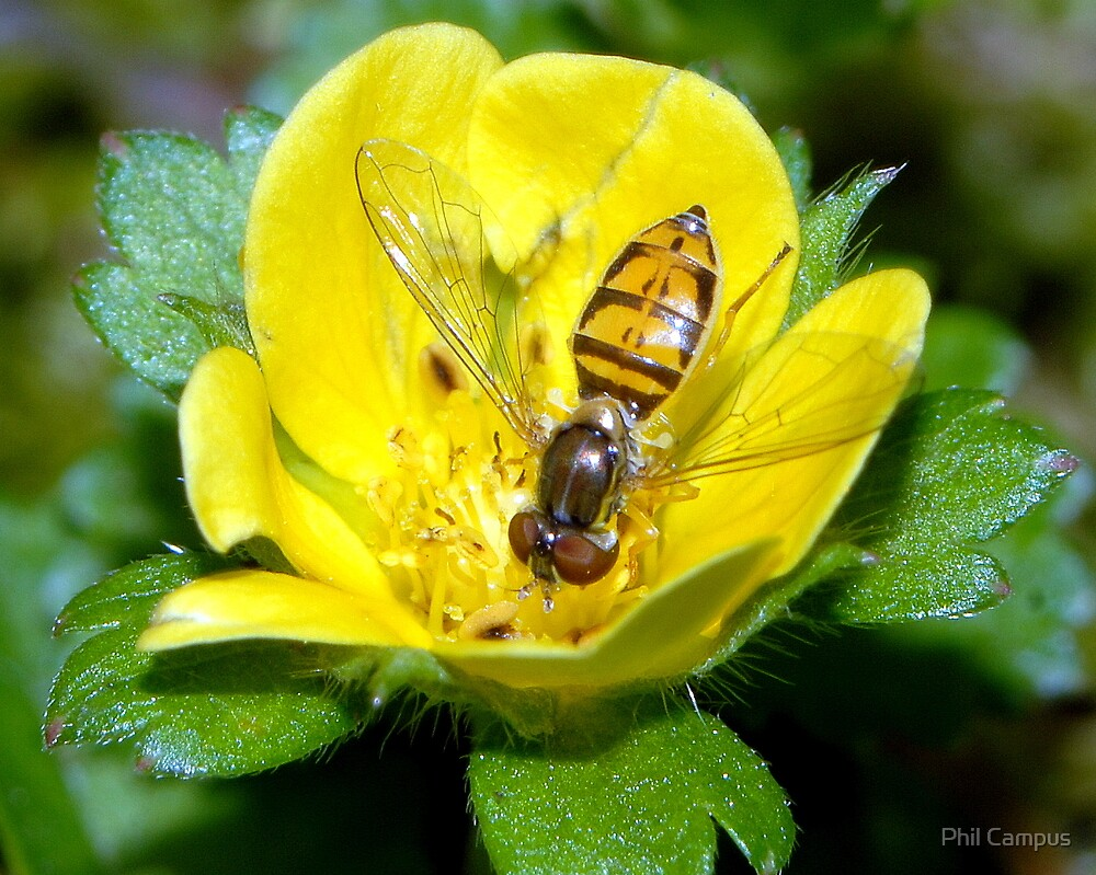 Hoverfly in Flower by Phil Campus