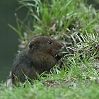 Water Vole ((Arvicola terrestris) by ©FoxfireGallery / FloorOne Photography