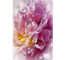 Peony in Pink Photographic Print