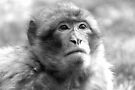 Barbary Macaque IV by Debbie Ashe