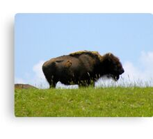 Lone Buffalo Canvas Print