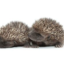 Hedgehogs by Dave McAleavy