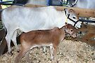 Miniature Zebu Cattle by AuntDot