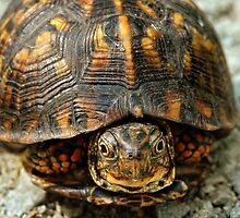 Box Turtle by mentaldragon