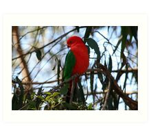 Male King Parrot Art Print