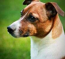 Alex the Jack Russel by Stacey Dionne