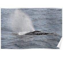 Humpback Whales of Moreton Bay II Poster