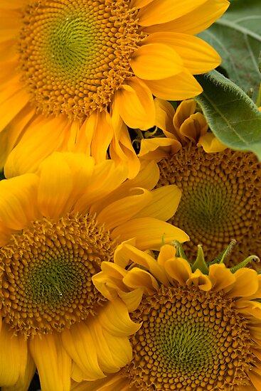 Summer Sunflowers by ElyseFradkin