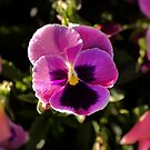 Pansy Flower by Stormygirl